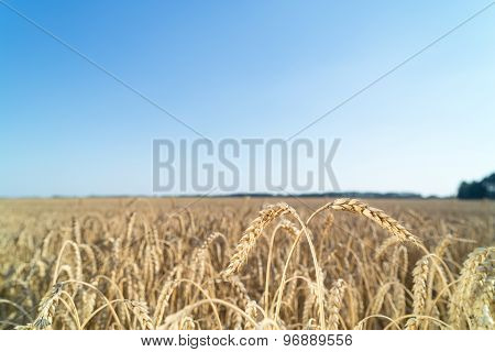 Ears of wheat ripens in field of farmer.