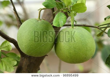 Pomelo on the tree
