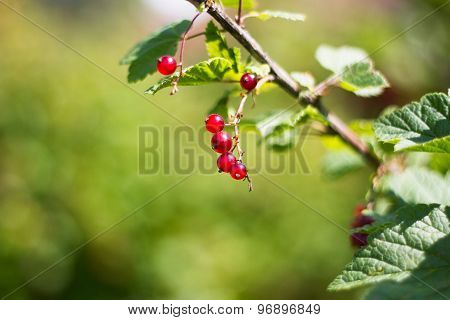Red currant berries on a Bush farm vegetable garden