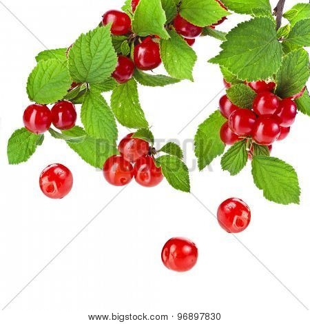 Fresh felt cherries on a green branch  isolated on white background