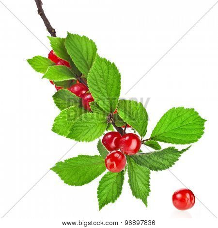 Felted cherry ripe fruit on the branch  isolated on white background