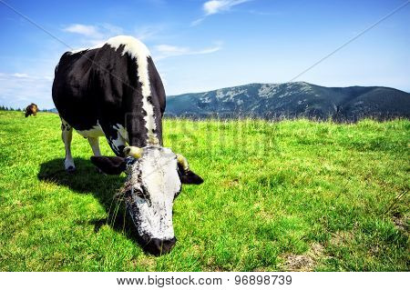 Mountain pasture with a black and white cow