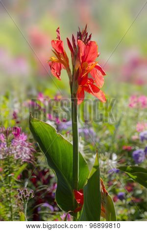 Bright Canna Indica Flower In Colorful Flowerbed