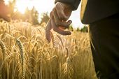 Businessman Walking Through A Golden Wheat Field Reaching Down With His Hand Touching An Ear Of Ripe poster