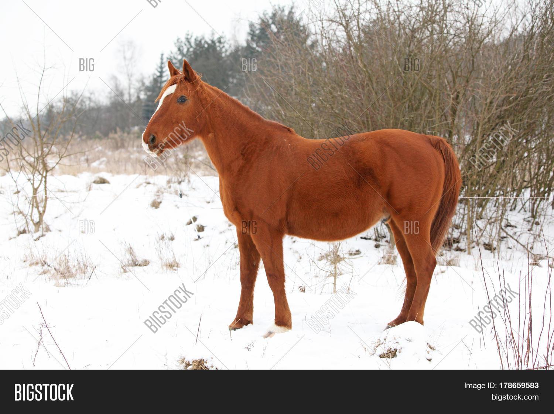 Beautiful Chestnut Horse Winter Image & Photo   Bigstock - photo#14