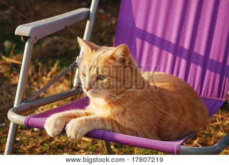 Ginger Tom On Purple Garden Chair
