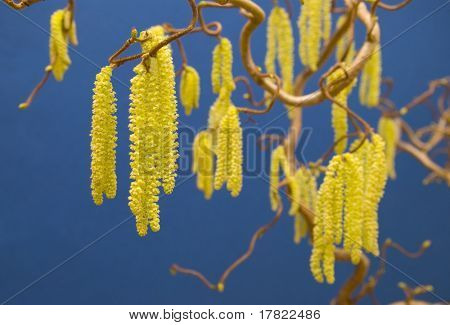 The catkins of a Hazel plant (Latin Contorta variety)