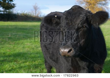 Close up image of a young Aberdeen Angus Cow