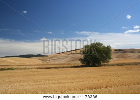 Wheat Field Tree