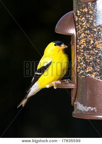 Goldfinch Eating From  Bird Feeder