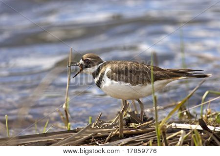 Killdeer By The Water.