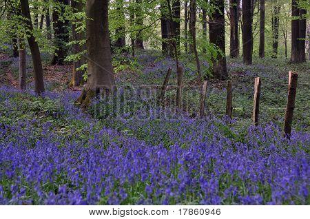 Sea of blue hyacinths