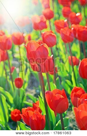 Perfect Tulips And Sun