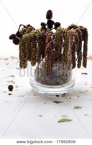 Ingrediente médico de cones de amieiro