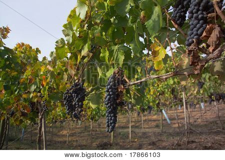 Merlot grapes in Casablanca, Chile