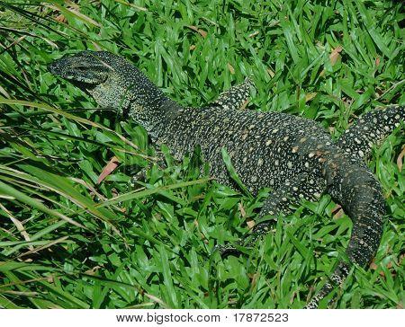 Lace Monitor (Lace Goanna) (Varanus varius) Lizard,  full body in grass