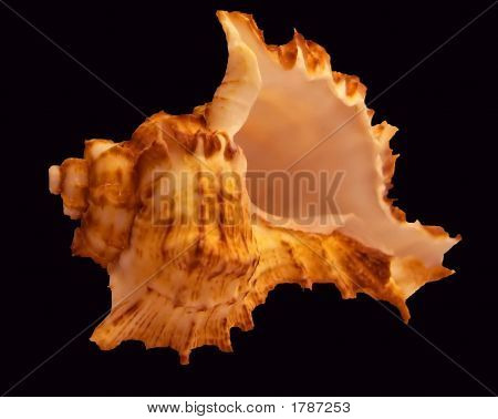 Sea Shell On Plain Background