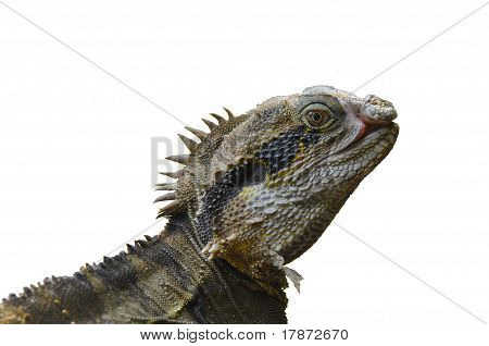 Eastern Water Dragon Lizard (Physignathus lesueurii, P. l. lesueurii) , Isolated