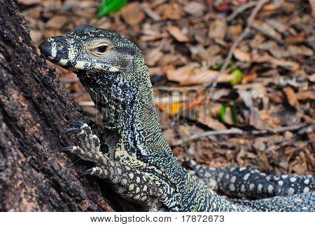Lace Monitor (Lace Goanna) (Varanus Varius) Lizard- closeup