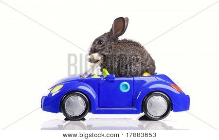 Rabbit driving a blue toy car (isolated on white)