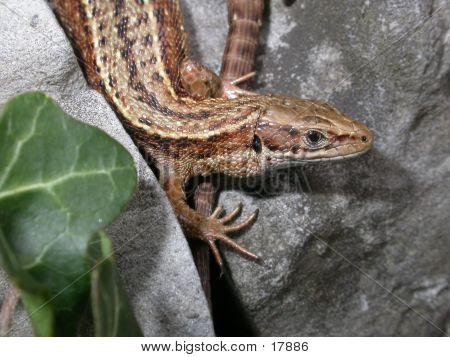 Common Lizard 01