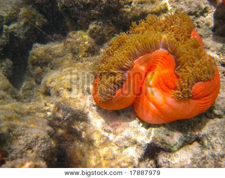 Red Orange Anemone