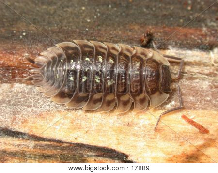 Common Spotted Woodlouse
