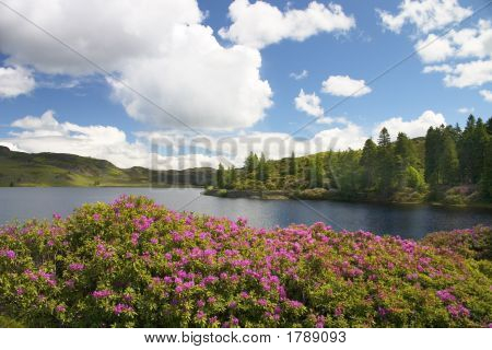 Rhododendrons By A Loch