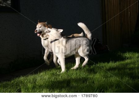 Huskies Playing