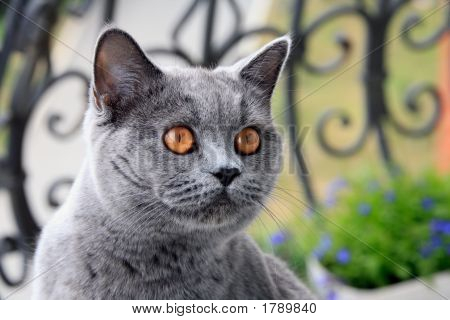 Gray Cat With Orange Eyes, British Blue Shorthair