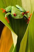 Red eyed tree frog lookingdown from a leaf in the tropical rain forest of COsta Rica. Agalychnis cal poster