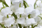 stock photo of snowbell  - Snowbells very close - JPG