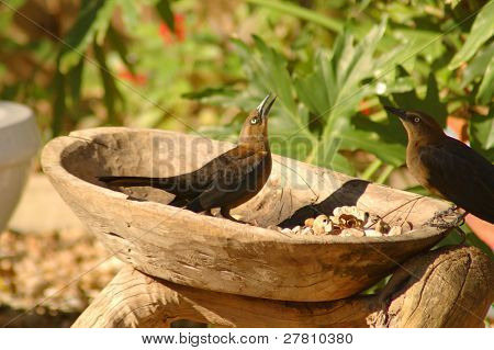 A common Grackels, sometimes simply referred to as a Blackbird or Starling  in a wooden bowel being used as a bird bath