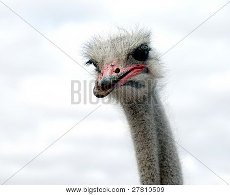 Male ostrich portrait