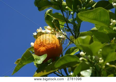 Orange blossoms and blue sky