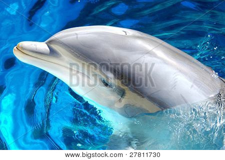 Male Atlantic Bottlenosed Dolphin
