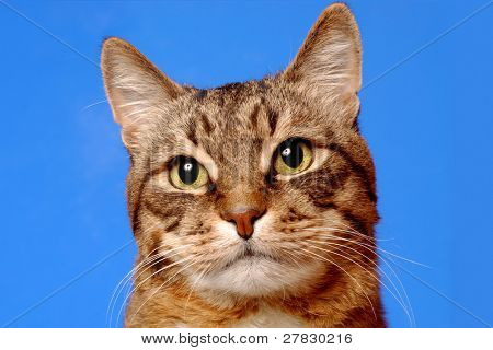Cat on a dark blue background