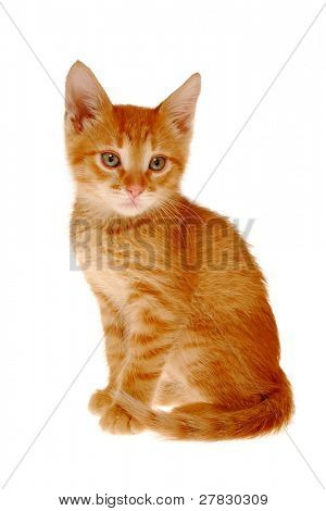 Red kitten on a white background