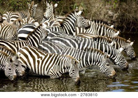 Herd Of Zebra At Masai Mara Kenya
