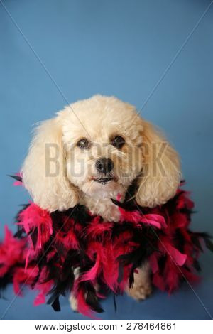poster of Dog Photo Shoot. Beautiful Bichon Frise Dog with a Red and Black Feather Boa with a blue seamless ba