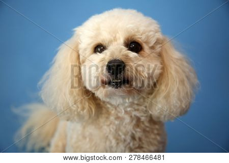 poster of Dog Photo Shoot. Beautiful Bichon Frise Dog with a blue seamless background. Valentines Day Dog Phot