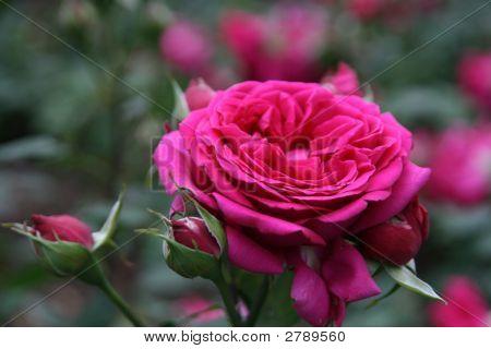 Dutch Rosa Centifolia