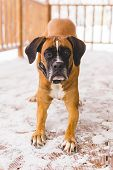 Portrait Of Brown Pedigreed Dog Sitting In The Wooden Home. Boxer poster