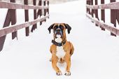 Brown Pedigreed Dog Lying On The Snow. Boxer. Beautiful Hunter Dog poster