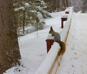 Cute Fluffy Red Squirrel Sits On A Road In Winter Snowy Forest Or Siberian Taiga. Wild Animal In Nat poster