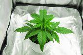 Growing Marijuana At Home Indoor. Cannabis Plant Growing. Marijuana In Grow Box  Tent. Cultivation G poster