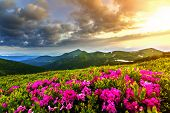 Beautiful View Of Pink Rhododendron Rue Flowers Blooming On Mountain Slope With Foggy Hills With Gre poster