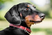 A Back View Of A Dachshund Sitting In Short Grass With Its Mouth Open And Tongue Out. Head Turned To poster