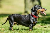 A Side View Of A Dachshund Standing On The Grass On A Very Sunny Day With Its Mouth Open And Tongue  poster