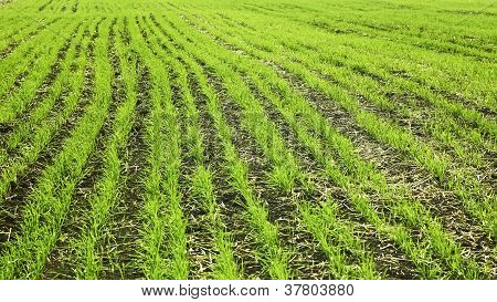 Sown Wheaten Field In Autumn